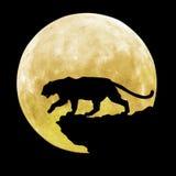 Черный тигр идет перед луной Стоковая Фотография RF