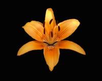 черный тигр лилии Стоковое Изображение RF