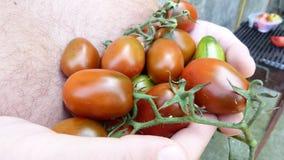 Черный томат сливы Стоковое Изображение
