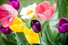 черный тюльпан Стоковое Изображение
