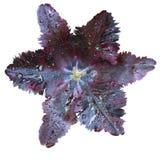 черный тюльпан Стоковые Фото
