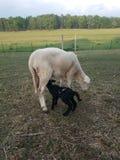 Черный уход овечки на белой овце Стоковое фото RF