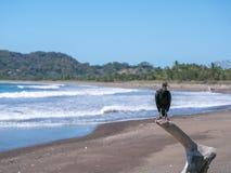 Черный хищник в пляже самары Стоковые Фотографии RF