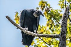 Черный хищник греясь в дереве Стоковая Фотография