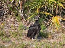 Черный хищник Стоковое Изображение