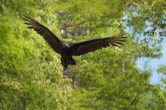 Черный хищник летая в болотах Луизианы Стоковое Фото