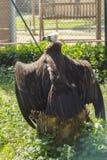 Черный хищник отдыхая на пне с открытыми крылами Стоковые Фотографии RF