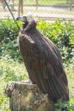 Черный хищник отдыхая на пне Стоковые Фотографии RF
