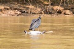 Черный хищник плавая над мертвым Кейманом на реке от Pantana Стоковое фото RF