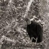 Черный хищник сидит в дереве в болотах Луизианы, изображения в sepia Стоковые Изображения