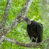 Черный хищник сидит в дереве в болотах Луизианы Стоковые Изображения RF