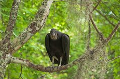 Черный хищник сидит в дереве в болотах Луизианы Стоковое Изображение RF