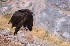 Черный хищник сидя на камне с свисать подгоняет Стоковое фото RF