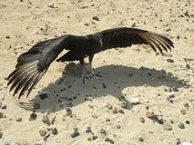 Черный хищник стоя на желтом песке пляжа с протягиванными крылами Стоковое Изображение RF