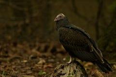 черный хищник Стоковое Изображение RF