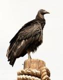 черный хищник Стоковая Фотография RF