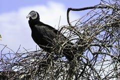 черный хищник Стоковые Изображения RF