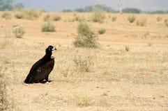 Черный хищник Стоковое фото RF