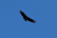 черный хищник Стоковая Фотография