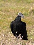 Черный хищник, atratus Coragyps, зонды остров, Falkland Остров-Malvinas Стоковые Фото
