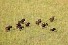 Черный ход антилопы гну Стоковые Фотографии RF