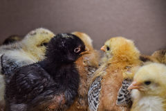 черный цыпленок между белизной одни Стоковое Фото