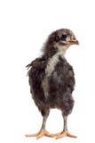 Черный цыпленок с белой нашивкой на белой предпосылке Стоковые Изображения