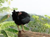 Черный цыпленок Стоковые Фото