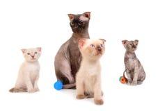 Черный чистоплеменный кот сфинкса с 3 котятами Стоковые Изображения