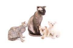 Черный чистоплеменный кот сфинкса с 3 котятами Стоковая Фотография RF
