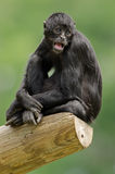черный чолумбийский спайдер обезьяны Стоковые Изображения RF