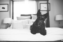 Черный шотландский терьер на кровати Стоковые Фотографии RF