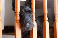 Черный шотландский терьер смотря через столбы лестницы Стоковые Фото