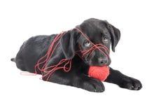 Черный щенок лаборатории, 2 месяца старого Стоковое Фото