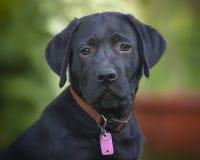 Черный щенок мужчины лаборатории Стоковые Фотографии RF