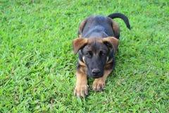 Черный щенок при коричневые маркировки лежа вниз стоковые фото