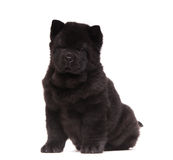 Черный щенок чау-чау Стоковая Фотография