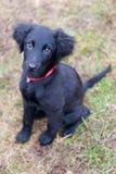 Черный щенок Стоковая Фотография RF
