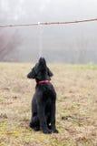 Черный щенок Стоковое Изображение