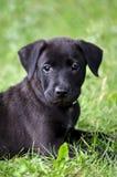 Черный щенок Стоковое Изображение RF