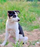 Черный щенок basenji в воротнике Стоковые Изображения