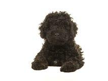 Черный щенок labradoodle смотря на лежать увиденный камерой на поле увиденном от фронта Стоковые Фотографии RF