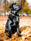 Черный щенок retriever labrador сидит в парке осени Стоковая Фотография