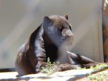 черный ягуар отдыхая в зоопарке стоковые изображения