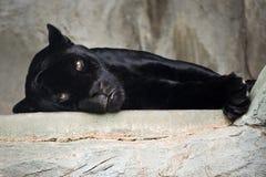 черный ягуар Стоковые Фото