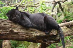 черный ягуар стоковая фотография rf
