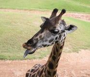 Черный язык жирафа Стоковая Фотография