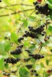 Черный ashberry завод с плодоовощами Стоковые Фотографии RF