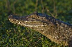 черный caiman Стоковое Фото