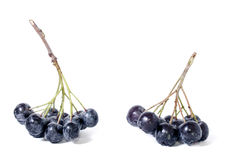 Черный chokeberry - aronia Стоковая Фотография